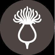 La fleur de carthame