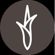 Citronnelle : La verveine des indes qui réduit l'anxiété